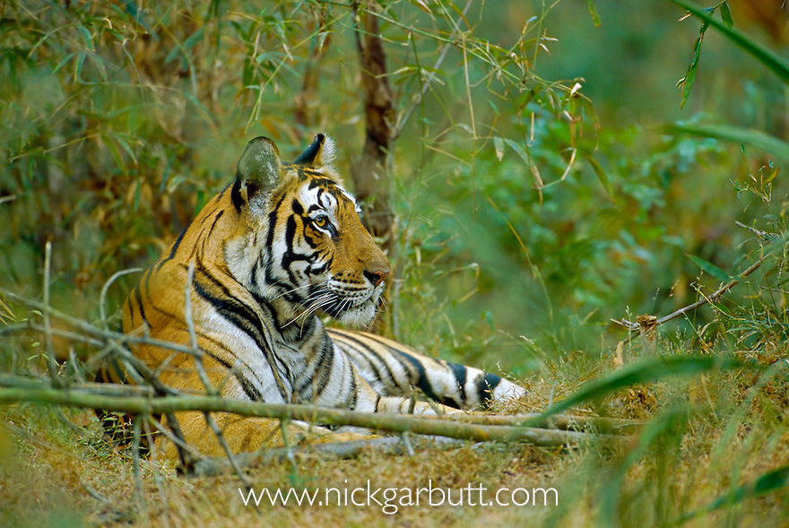 Female Bengal Tiger (Panthera tigris tigris)   (Pyari) in bamboo. Bandhavgarh National Park, Madhya Pradesh, India.