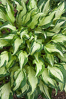 Hosta 'Allegan Fog' (variegated ) with white streaked center, perennial shade garden foliage plant