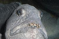 Gestreifter Seewolf, Kattfisch, Katfisch, Portrait mit Gebiss, Zähnen, Anarhichas lupus, Atlantic wolffish, cat fish, catfish