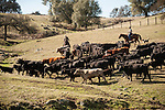 Dell'Orto cattle marking, Amador County