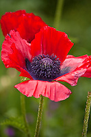Botanicals: Poppies