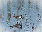 Killdeer in the Valencia Wetlands in north Idaho