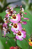 Tolumnia Equitant Oncidium Genting Pink Lady orchid