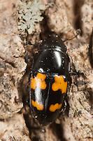 Picnic Beetle (Glischrochilus fasciatus), West Harrison, Westchester County, New York