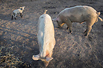 An orphan lamb with a sow and a boar hog ... on a small farm where the animals lack adequate feed.