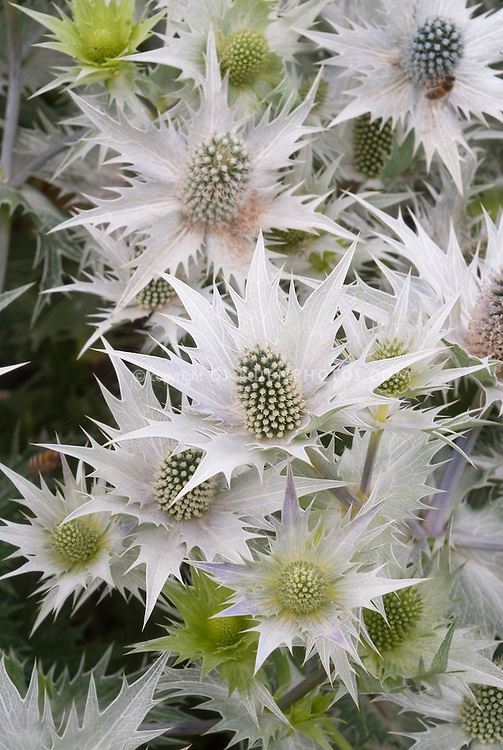 Giant Sea Holly flowers Eryngium giganteum 'Silver Ghost'