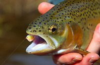 Catch and release trout fly fishing North Carolina,
