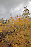 Yellow Aspen trees, Buckrail fence, fall fall colors, Newfork Lake, Pinedale, Wyoming