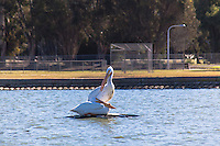 Two White Pelicans on the idle fountain fixture in the Duck Pond at San Lorenzo Park.