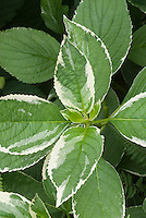 Hydrangea macrophylla 'Maculata' variegated garden lacecap hydrangea foliage