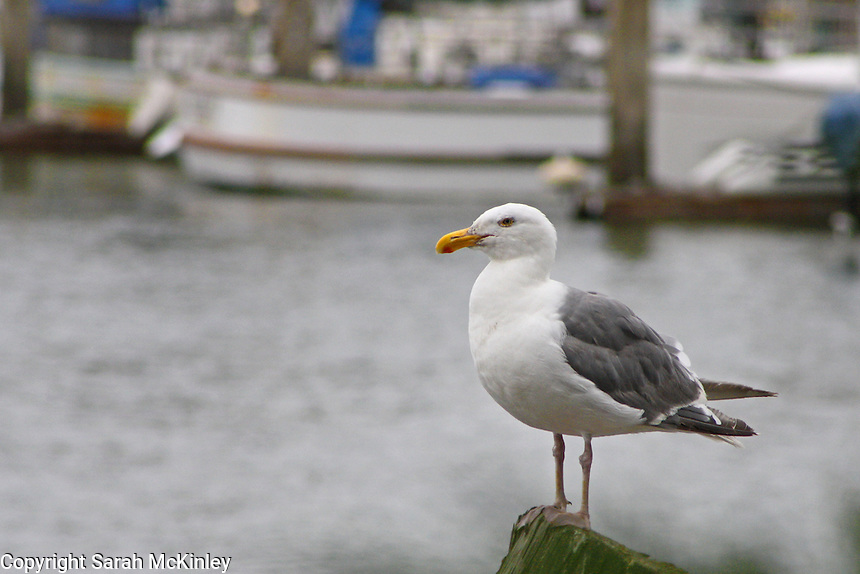 A Glaucous-Winged seagull stands on a wooden post near a marina on the Pacific Coast of Humboldt County, near Eureka, in Northern California.