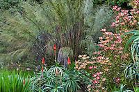 Thamnochortus insignis, South African Thatching Reed, flowering in San Francisco Botanical Garden