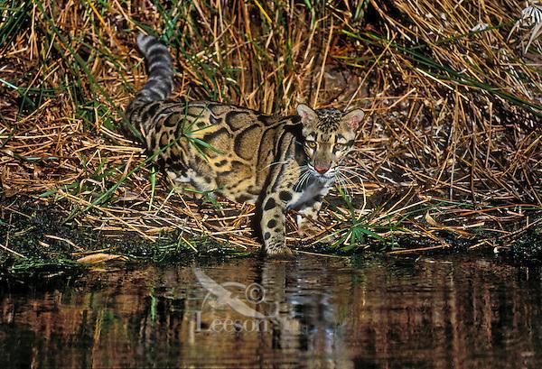 Clouded Leopard (Neofelis nebulosa) camouflaged in bamboo. Indochina, India, Borneo & Taiwan.