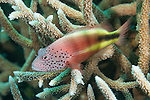 Vadinolu Giri, Laamu Atoll, Maldives; a Freckled Hawkfish (Paracirrhites forsteri) perched on a colony of staghorn corals