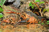414490003 a pair of wild pocambarus species of crayfish interact while sitting in a small pond on a ranch in south texas