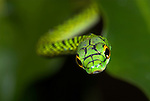 Black Skinned Parrot Snake, or Green Parrot Snake, Leptophis ahaetulla nigromarginatus, Iquitos, Peru, arboreal, day active, opens mouth wide when threatened, aggression, amazonian jungle, soft focus, abstract, green. .South America....