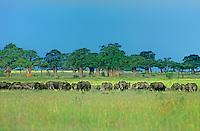 628509003 African Elephant Loxodonta africana WILD.Elephant Herd Feeding on Veldt.Near Tarangiere, Tanzania