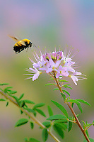 320750004 a wild golden northern bumblebee bombus fervidus prepares to land on a rocky mountain bee plant cleome serrulata in southern utah