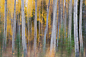 Aspen trees in fall along the Robert Campell Highway; blur caused by moving camera while shutter was still open