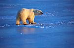 Polar bear walks on the ice in Wapusk National Park in Manitoba, Canada.