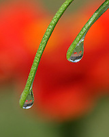 The yard reflected within each drop, hanging from the tips of a rosemary plant..