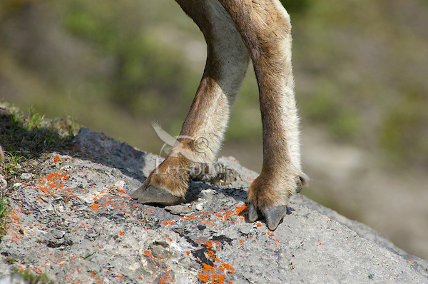 Bighorn Sheep or Mountain Sheep (Ovis canadensis) hoof on rock--notice how hoof splits to grab better grip on rock.  Northern Rockies.  June.