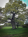 Ancient pedunculate oak (Quercus robur), Hinton Ampner, Hampshire, late April.