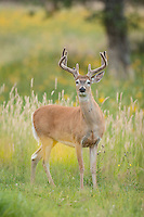 Wyoming whitetail buck during summer with antlers in velvet