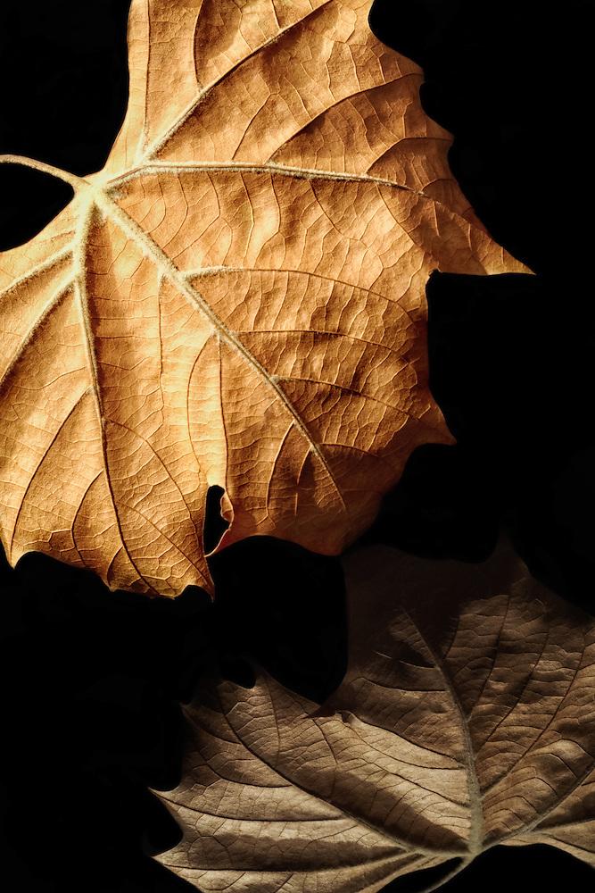 Dead leaf with reflection, black plexiglass
