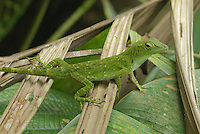 Neotropical Green Anole (Anolis biporcatus), Braulio Carillo National Park, Costa Rica