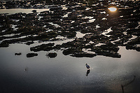 A lone Snowy egret searches for food in the shallow waters at low tide along San Francisco Bay.  In the corner, a bright reflection of the setting sun glows in one of the low tide's pools.