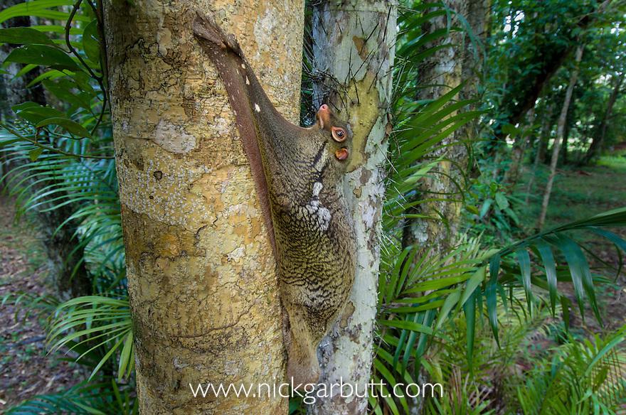 Sunda Colugo  or Sunda Flying Lemur (Cynocephalus [Galeopterus] variegatus) in daytime resting posture on tree trunk. Bako National Park, Sarawak, Borneo.