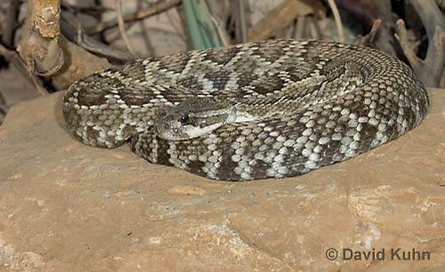 0419-1007  Southern Pacific Rattlesnake (Black Diamond Rattlesnake, Pacific Rattler), Southwest California, Crotalus oreganus helleri (syn. Crotalus viridis helleri)  © David Kuhn/Dwight Kuhn Photography.