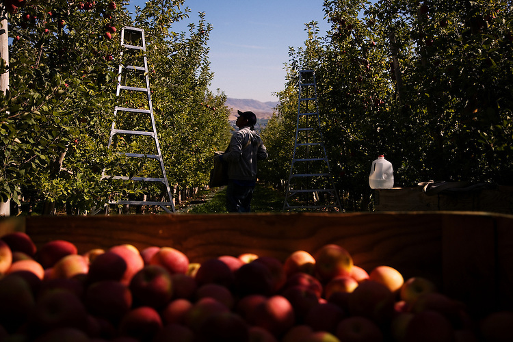 A Mexican immigrant, a temporary hire, picks apples at an orchard...Phillippi Fruit Company..For Graceland Project 2008.