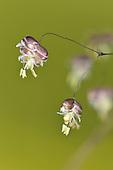 Common Quaking-grass - Briza media