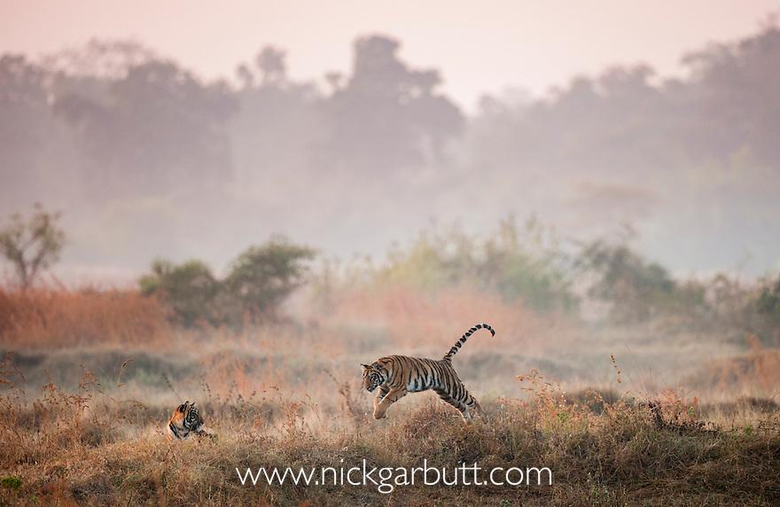 Young Bengal Tigers (Panthera tigris tigris) (14 -15 months old) playing in open meadow. Tadoba-Andhari Reserve, Marharastra, India.