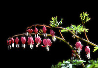 A delicate branch of Bleeding heart, Dicentra spectabilis, with rows of flowers also called Dutchmans trousers