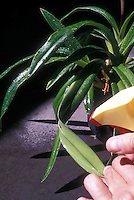 Spraying orchid plant completely with insecticidal soap, under and above leaves, so that spray drips