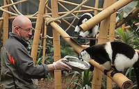 Jean Yves Lavaud, in the lemur house, feeding the black-and-white ruffed lemurs (Varecia variegata subcincta), an endangered species from Madagascar, in the Madagascar Zone of the Great Glasshouse in the new Parc Zoologique de Paris or Zoo de Vincennes, (Zoological Gardens of Paris or Vincennes Zoo), which reopened April 2014, part of the Musee National d'Histoire Naturelle (National Museum of Natural History), 12th arrondissement, Paris, France. Picture by Manuel Cohen