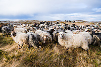 Stokksund, Norway. Domestic sheep.