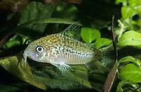 Genetzter Panzerwels, Falscher Netzpanzerwels, Netz-Panzerwels, Corydoras sodalis, False Network Cory, false network catfish, Panzerwelse, Callichthyidae