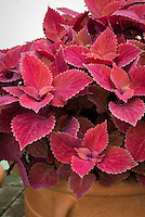 (Solenostemon) Coleus 'Red Head' aka 'Redhead' annual foliage plant in shades of red leaves. RHS Award of Garden Merit AGM. aka 'Uf0646')