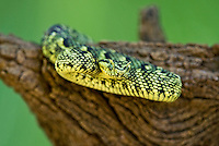 489550018 a captive usambara mountains eyelash bush viper atheris ceratophora sits coiled on a tree stump species is newly recorded and native to the usambara mountains of tanzania