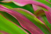 Red and green ti leaves, Kauai.