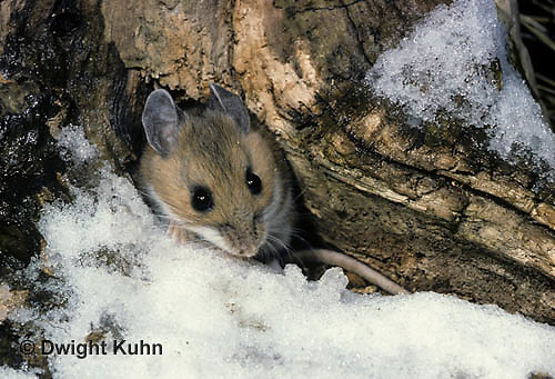 MU12-059z  Deer Mouse - Peromyscus maniculatus