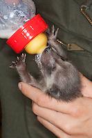 """Waschbär, verwaistes Jungtier wird in menschlicher Obhut großgezogen, Mädchen, Fütterung aus einer Milchflasche mit Spezial-Aufzuchtsmilch, Jungtier wird von Hand aufgezogen, verwaistes Jungtier, Aufzucht eines Wildtieres, Tierkind, Tierbaby, Tierbabies, Waschbaer, Wasch-Bär, Procyon lotor, common raccoon, """"Spindra"""""""
