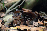 A common nocturnal animal of the forest floors of the Amazon forest is the paca, a rodent that lives in burrows in the ground.