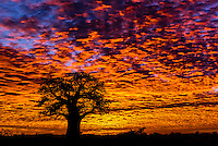 A baobab tree silhouetted against a fiery sunrise, Nxai Pan National Park, Botswana.