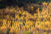 Larch trees, Larix decidua, in shades of autumn colour in coniferous forest plantation for timber production in the Brecon Beacons, Wales, UK