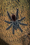Pink Toed Tarantula Spider, Avicularia sp., Iquitos, Peru, jungle, amazon, on tree trunk, hairy, long legs, red rump abdomen.South America....